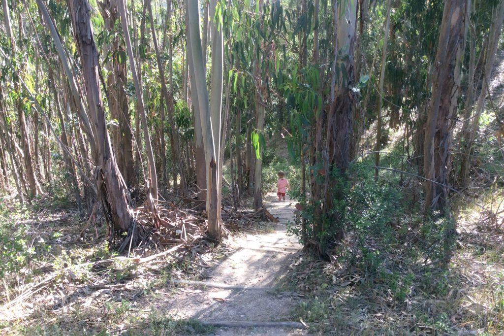 eucalyptus trees portugal